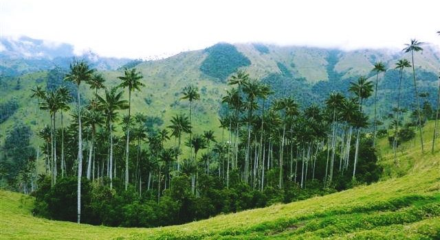 Wax Palm Forests in Colombia's beautiful coffee region: La Carbonera or Valle del Cocora?